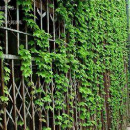 北京林业大学的绿韵—绿藤扶摇