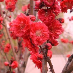 北京林业大学校园里的梅花
