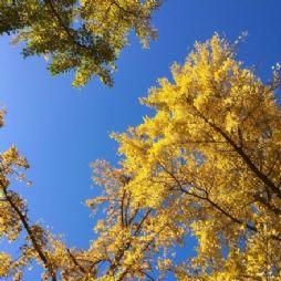 林家大院的银杏树