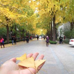 北京林业大学的银杏大道(2)