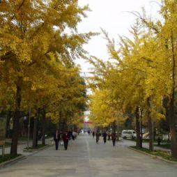 北京林业大学的银杏大道(1)