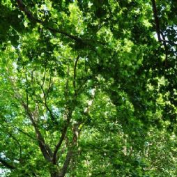 北京林业大学的悬铃木