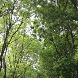 北京林业大学的银杏大道(3)