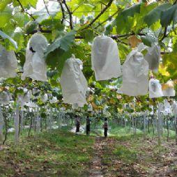 夏天的自助摘葡萄活动