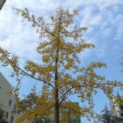 单位大院里的银杏树(20161114)