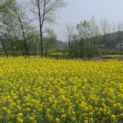 苏埠与横排头的油菜花(20180331)