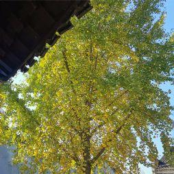金色银杏·独山苏维埃城(20201025)